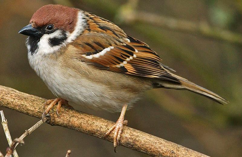 tree-sparrow