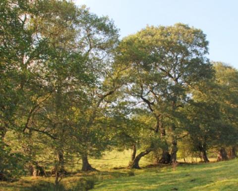 alder-tree